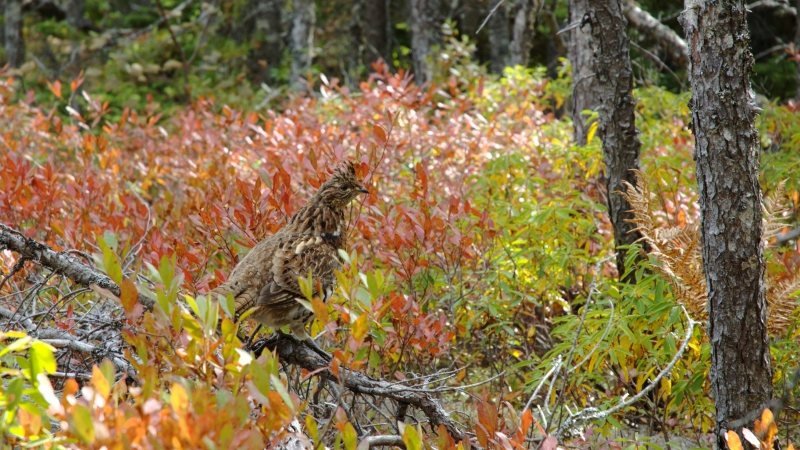 ruffed grouse in fall foliage