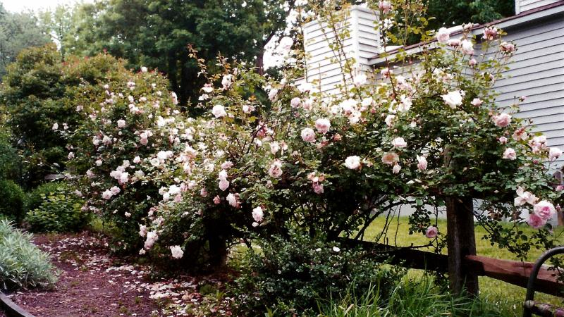 New Dawn Rose on fence