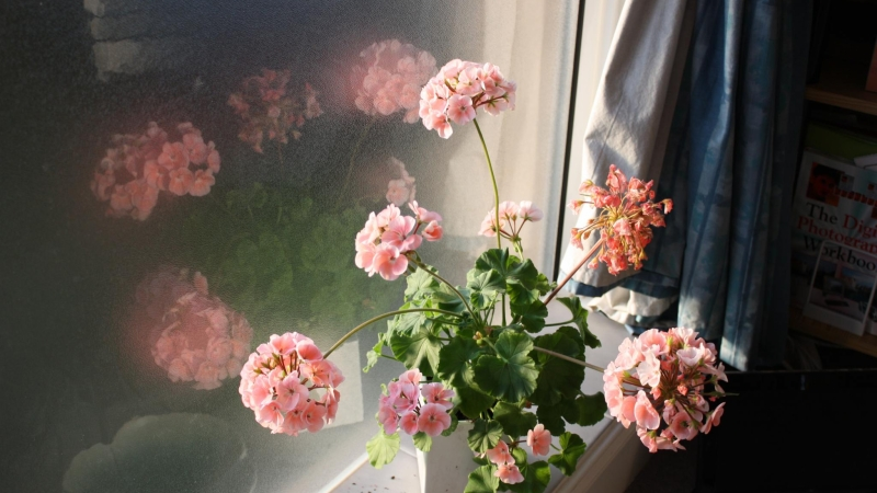 geranium in window