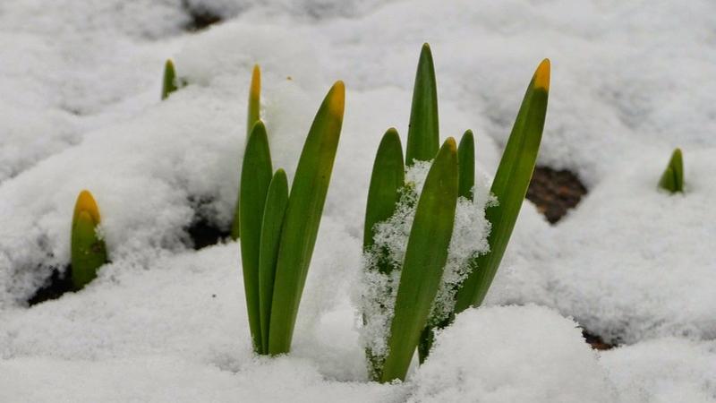 Spring flowers peek through snow cover.