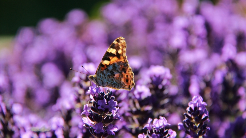 A small butterfly gathers pollen in a field of lavender