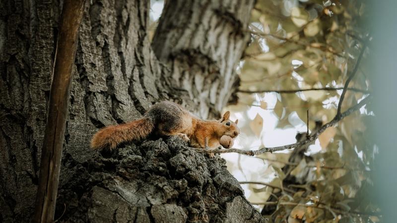 Squirrel with acorn.