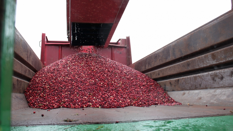 A dump truck fills with cranberries