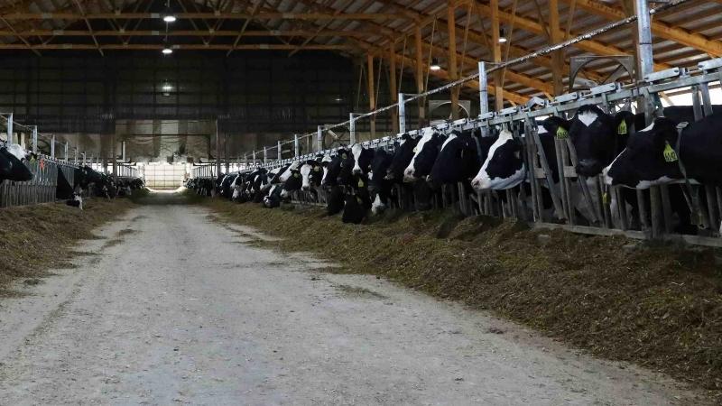 cows, dairy farm