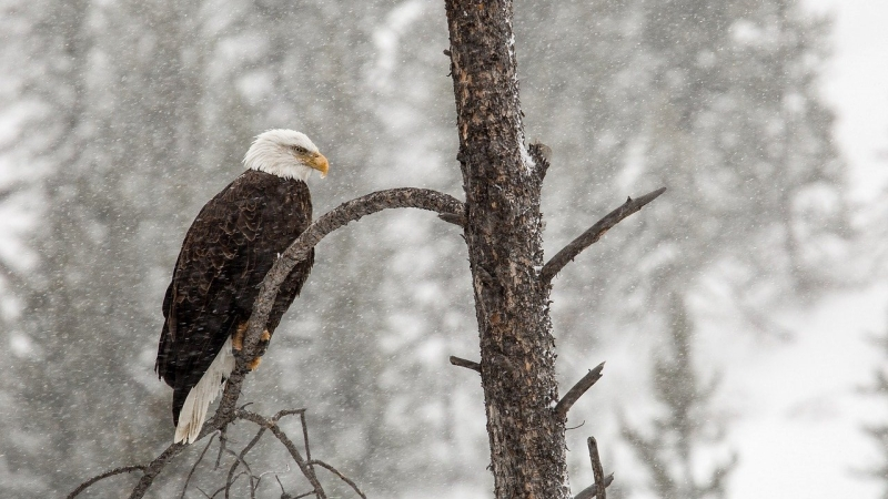 Bald eagle sitting on branch in snow.
