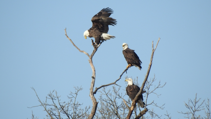 Bald eagles sitting in tree near Sauk Prairie.