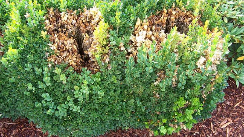 Photo of boxwood blight