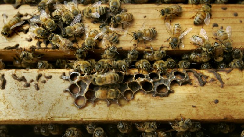 Honeybees are seen inside a colony