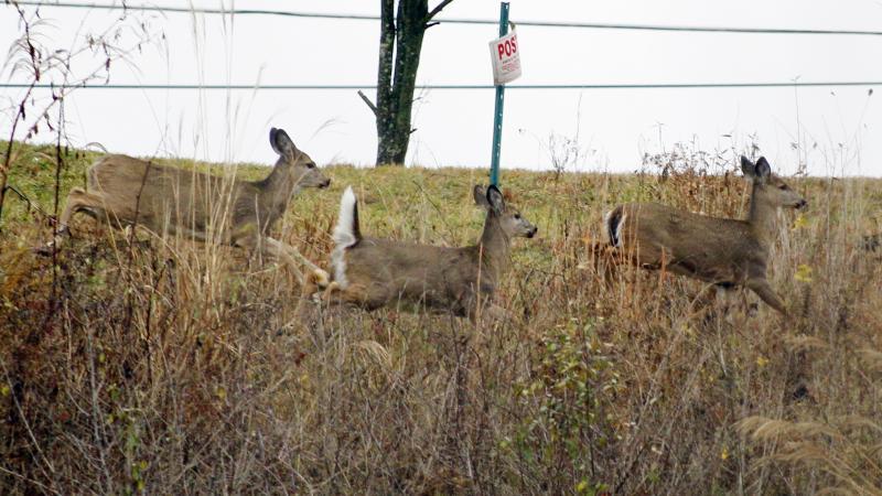 Antlerless deer running