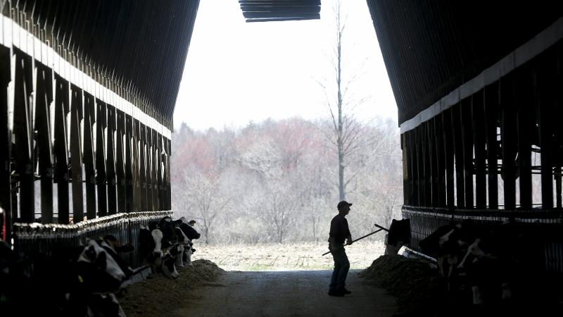 farmer working with cows