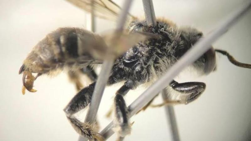 A rare bee, Epeoloides pilosulus