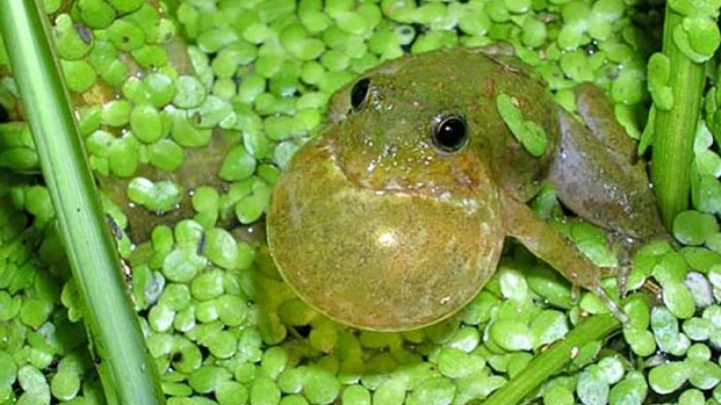 A tiny green frog puffs out its neck as it croaks in a pool of tiny circular green leaves.