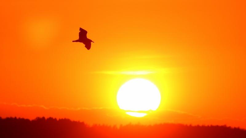 Summer night - a bird flying across a sunset