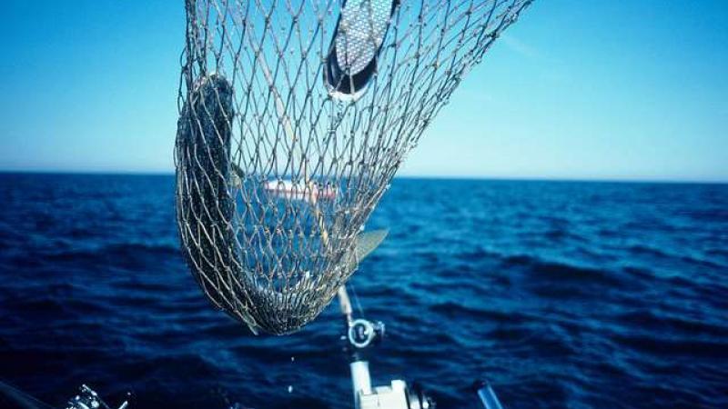 Lake trout in net.