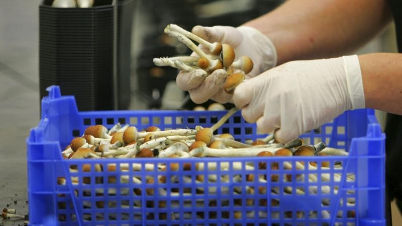 Gloved hands holding magic mushrooms