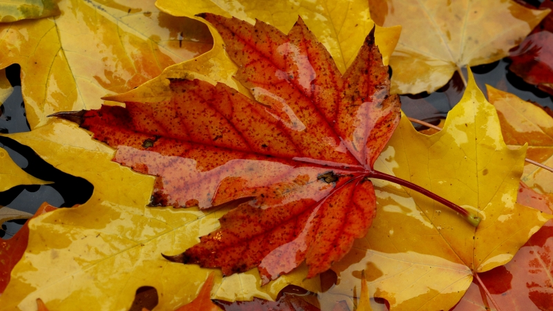 Fallen leaves show their colors as they float in a puddle on a rainy day.