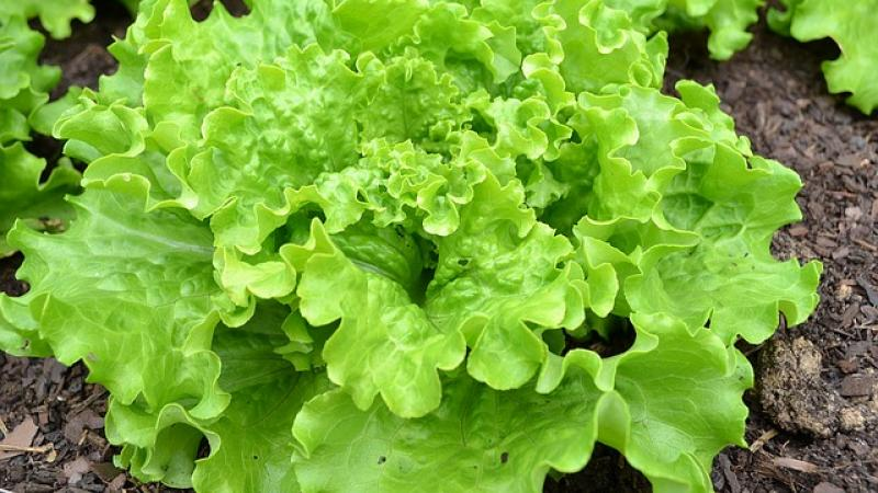 Batavia lettuce growing in a farm field