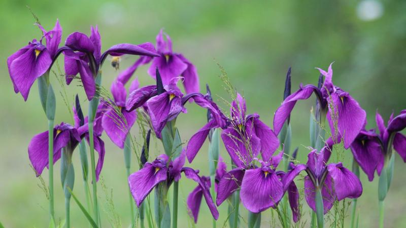 group of iris