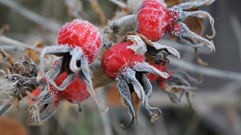 hibiscus seed pods