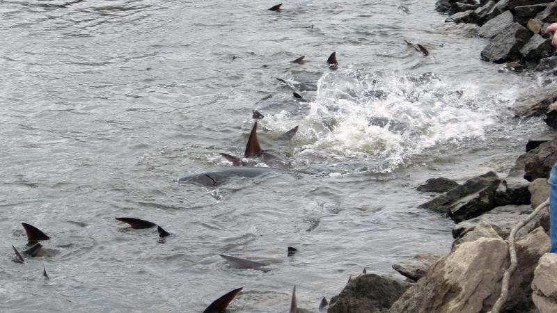 Sturgeon spawning