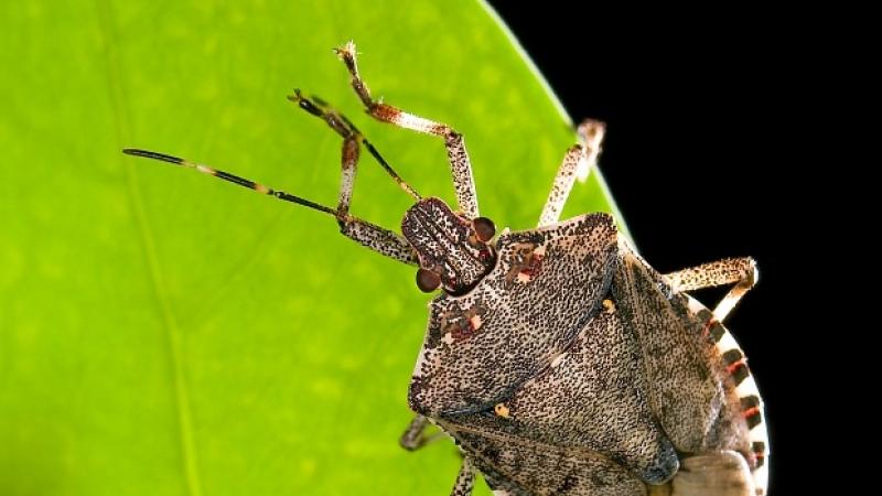 A brown marmorated stink bug walks along a leaf.