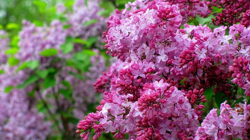 Lilacs are an immigrant plant.