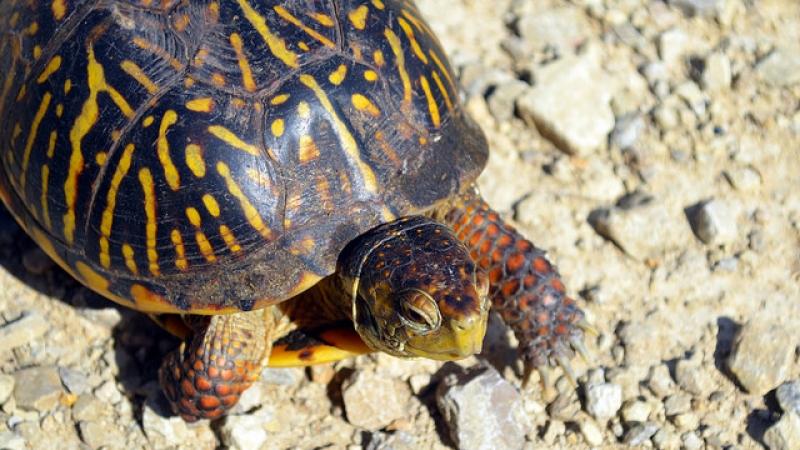 ornate box turtle, USFWSmidwest