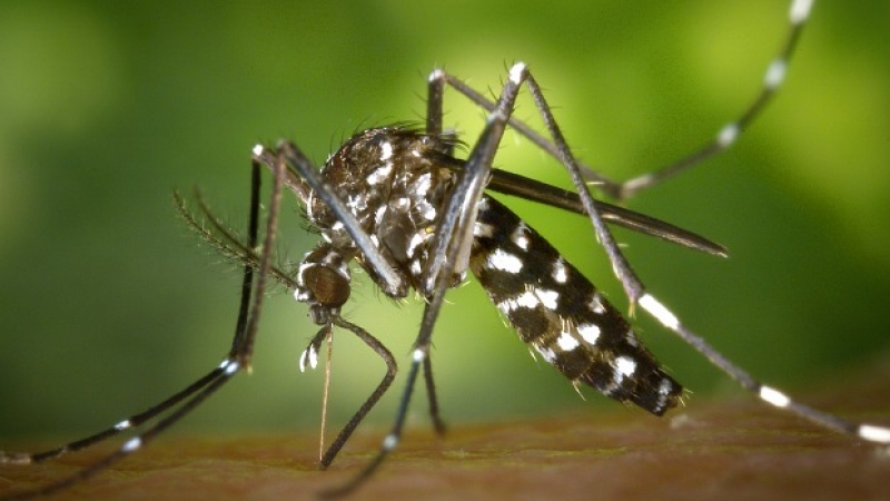 An Asian tiger mosquito (Aedes albopictus) begins feeding on blood.