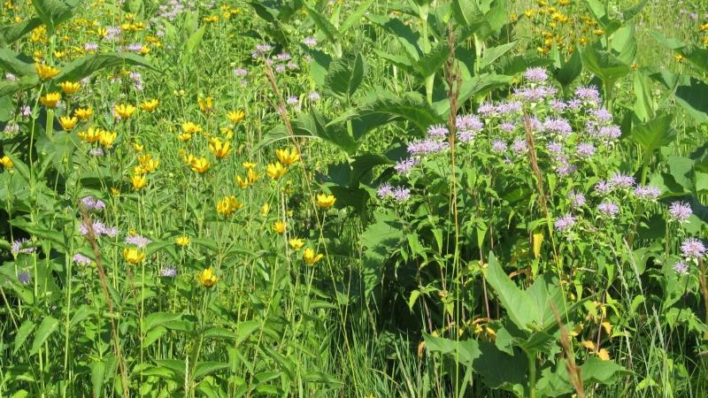 prairie flowers, photo by Judith Siers-Poisson