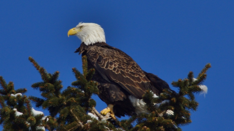 eagle in evergreen