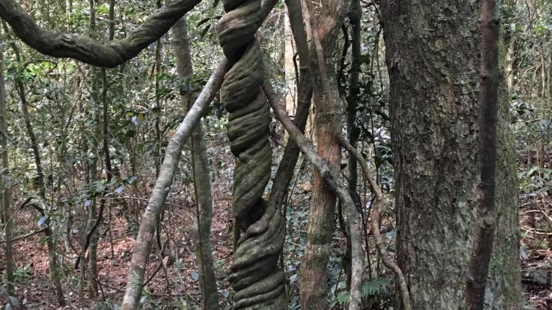 Wonga Vine in Lamington National Park - Photo by Allen Rieland