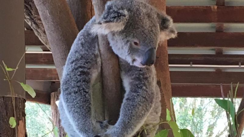 Koala at the Australian Zoo, Beerwah, QLD, AU - Photo by Allen Rieland
