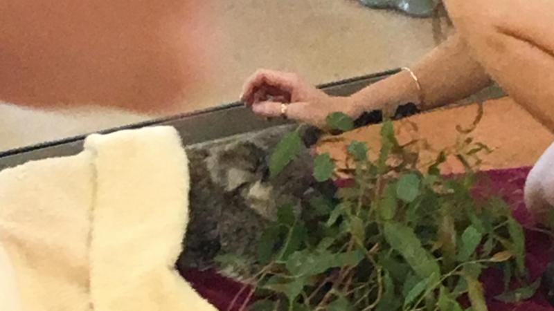 Treating sick Koala at Steve Irwin's Animal Hospital - Photo by Allen Rieland