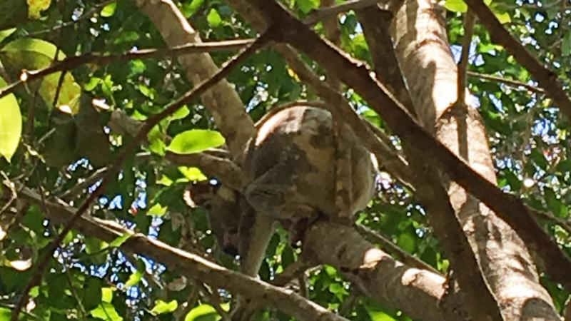 Koala in tree along Noosa River - Photo by Allen Rieland