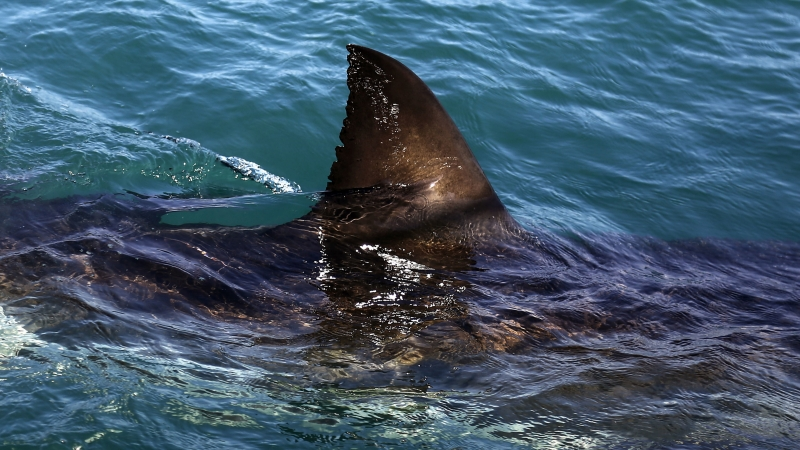 Fin of a great white shark