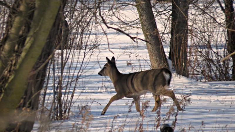 Deer running across snow.