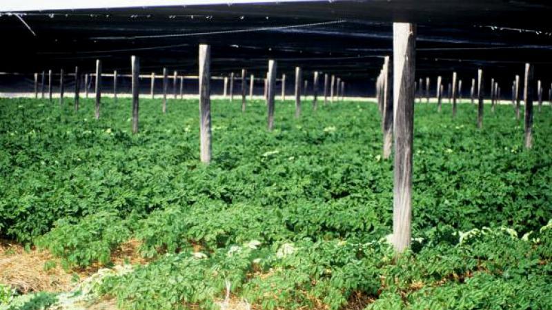 Wisconsin ginseng growing
