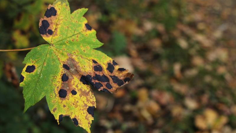 diseased leaf