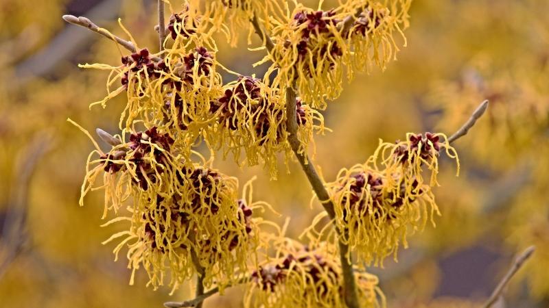 witch hazel bush in bloom