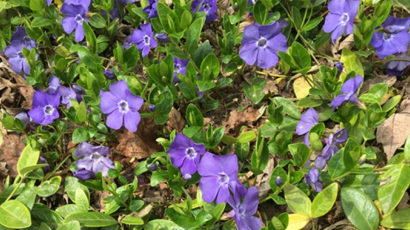 Vinca minor, also known as periwinkle, is a shade-loving ground-cover plant.