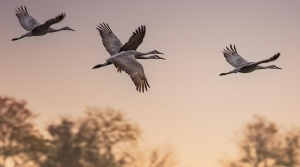A family of cranes flying at sunset