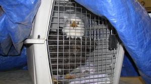 Injured eagle, eagle