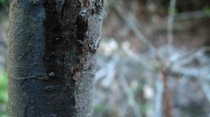 closeup of sudden oak death.