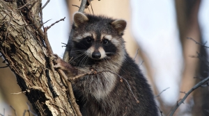 Young raccoon in tree.