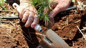Planting a small pine seedling.