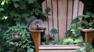 groundhog in yard