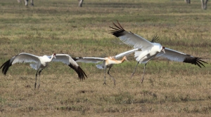 Adult and adolescent whooping cranes.