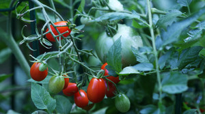 Cherry tomatoes in New Market, Va.