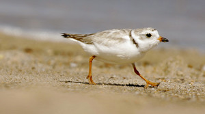 An adult Piping Plover runs along a beach