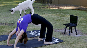 April Gould conducts an online goat yoga class at Arizona Goat Yoga